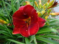 vignette Hemerocallis 'Fire Tree'