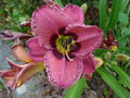 vignette Hemerocallis 'Always Afternoon'