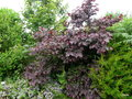 vignette Cercis canadensis , 'Forest Pansy'