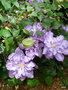 vignette Clematis 'Vyvyan Pennell'