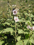 vignette Althaea officinalis - Guimauve