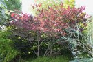 vignette Cercis canadensis 'Forest Pansy'