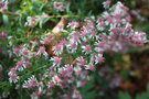 vignette Aster lateriflorus 'Lady in Black'