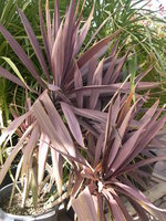 vignette Cordyline 'Red Star'