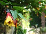 vignette Abutilon Kentish Belle
