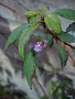 vignette Impatiens arguta Blue Dream