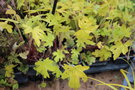 vignette x Heucherella 'Alabama Sunrise'