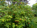 vignette Abutilon Thompsonii au 30 05 16