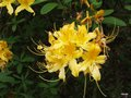 vignette Rhododendron luteum