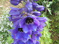 vignette Delphinium x pacific 'Black Knight'