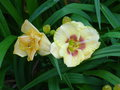 vignette Hemerocallis 'Custard Candy'