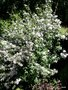 vignette Deutzia 'Dark Eyes'