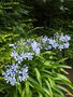 vignette Agapanthus africanus 'Luly'
