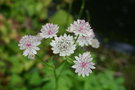 vignette Astrantia major 'Sunningdale Variegated'
