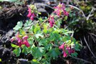 vignette Corydalis solida red