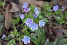 vignette Omphalodes cappadocica 'Starry Eyes'