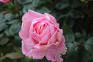 vignette Rosa 'Brother Cadfael'