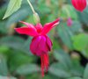 vignette Fuchsia 'Lady Boothby'