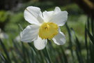 vignette Narcissus 'Ice Follies'