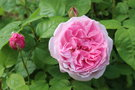 vignette Rosa 'Mary Rose'