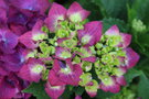 vignette Hydrangea macrophylla 'Hot Red Violet'