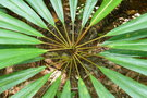 vignette Cordyline sp.