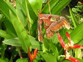 vignette Bai Orchid and Buttefly Farm - Attacus atlas - Papillon