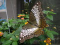 vignette Bai Orchid and Buttefly Farm - Parthenos sylvia - Papillon
