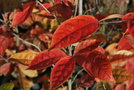 vignette Photinia beauverdiana