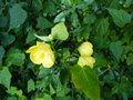 vignette Abutilon Canary bird au 31 10 16