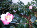 vignette Camellias japonica R.L.Wheeler variegated et Ballet dancer au 20 12 16