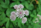 vignette Astrantia major