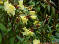 vignette Rhododendron lutescens gros plan au 12 03 17