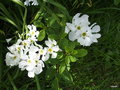 vignette Exochorda x macrantha 'The Bride'