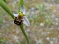 vignette ophrys abeille /ophrys apifera