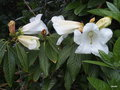 vignette Rhododendron Lindleyi