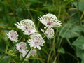 vignette Astrantia major, Le Grand Bornand