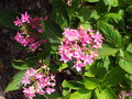 vignette Hydrangea macrophylla 'You and me'