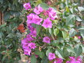 vignette Bougainvillea (production)