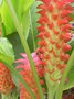 vignette Curcuma gingerstar 'Red Torch'