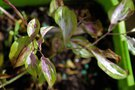 vignette Disporum cantoniense 'Moonlight'