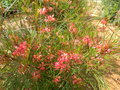 vignette Grevillea johnsonii