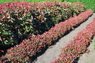 vignette Photinia x fraseri 'Red Robin' & Photinia x fraseri 'Little Red Robin'