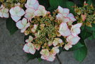 vignette Hydrangea 'Love You Kiss'