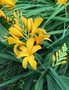 vignette Crocosmia 'Paul's Best Yellow'