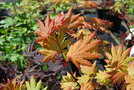 vignette Acer shirasawanum 'Autumn Moon'