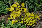 vignette Broussonetia papyrifera 'Golden Shadow'
