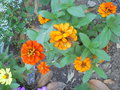 vignette Zinnia nain orange