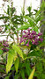vignette cestrum x cretian purple
