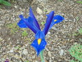 vignette Iris hollandica